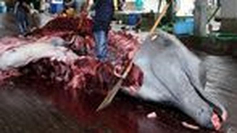 IWC-Konferenz: Wird das blutige Walfang-Geschäft wieder legal?
