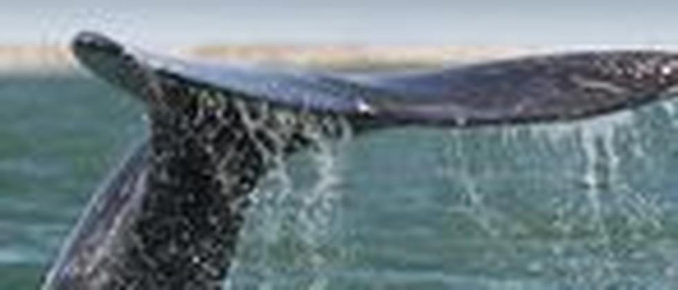 Grauwal Walfang Walfangkommission Fischerei Tierschutz