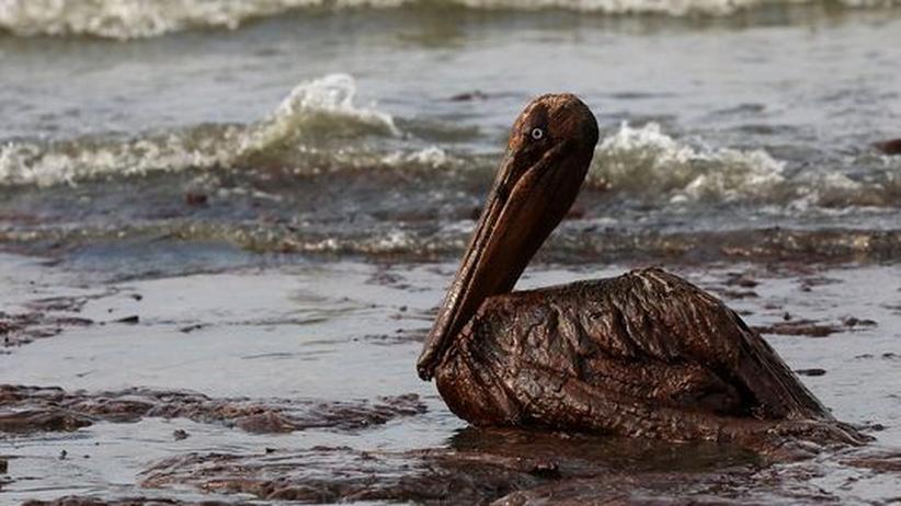 Ein ölverschmierter Braunpelikan an der Küste Louisianas