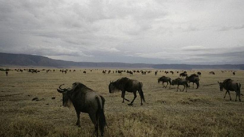 Geplante Fernstraße: Die Serengeti darf nicht sterben