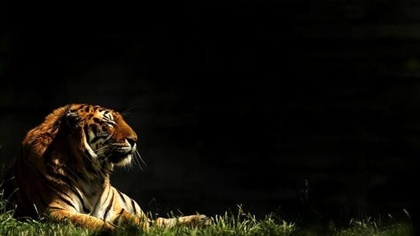 In freier Wildbahn leben nur 500 Exemplare. Der Sibirische Tiger ist die größte lebende Katze der Welt