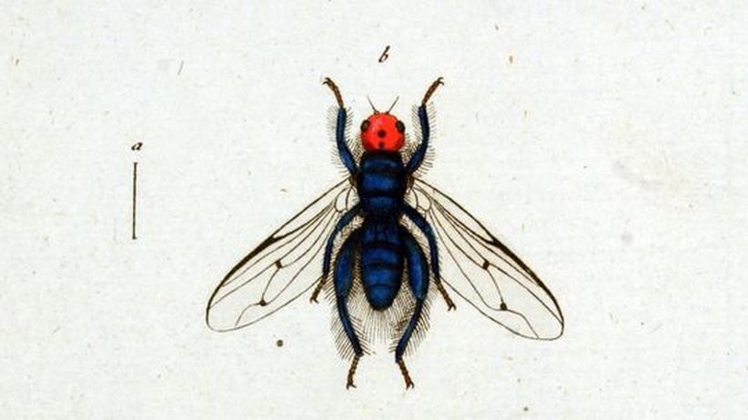 Darstellung einer Linsenfliege von 1888