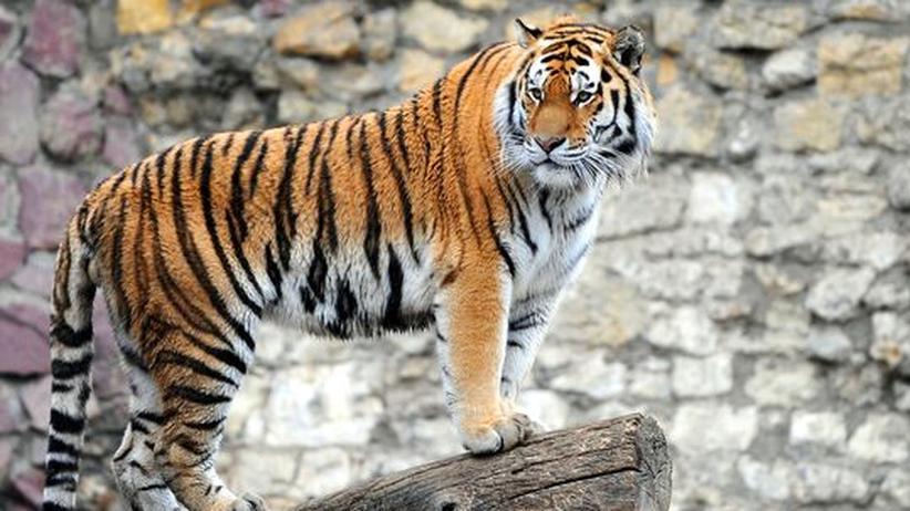 Artenschutz: Regierungschefs beraten über Rettung der Tiger