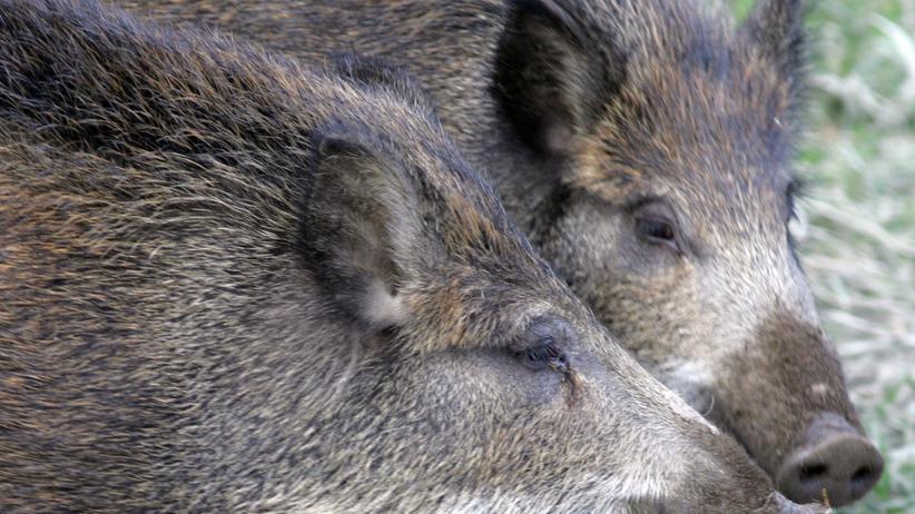 Bayerischer Wald: Jagd auf verstrahlte Wildschweine