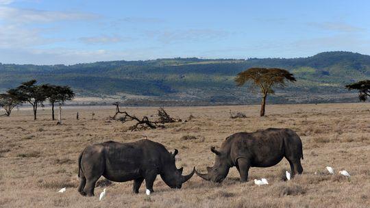 Elfenbein Kenia Elefant Afrika Wilderer Artenschutz Nashorn