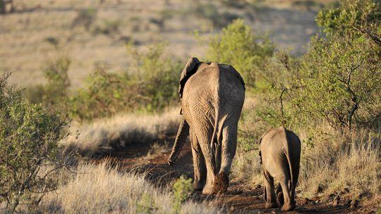 Elfenbein Kenia Elefant Afrika Wilderer Artenschutz Kenia