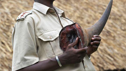 Elfenbein Kenia Elefant Afrika Wilderer Artenschutz