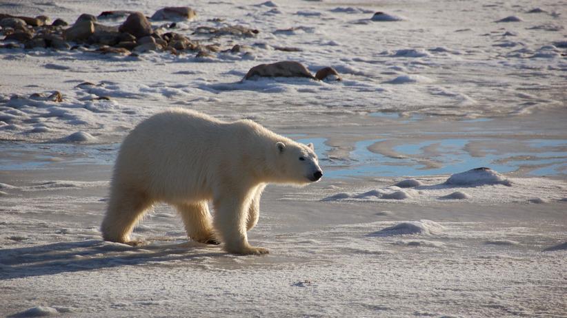 Hybriden: Polarbär plus Grizzly gibt Prizzly
