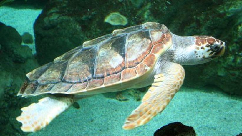 """Eine ausgewachsene Unechte Karettschildkröte (""""Caretta caretta"""") schwimmt in einem Aquarium"""