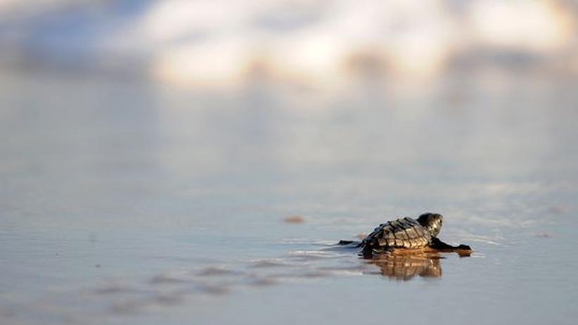 """Eine frisch geschlüpfte Unechte Karettschildkröte (""""Caretta caretta"""") auf dem Weg ins Meer"""