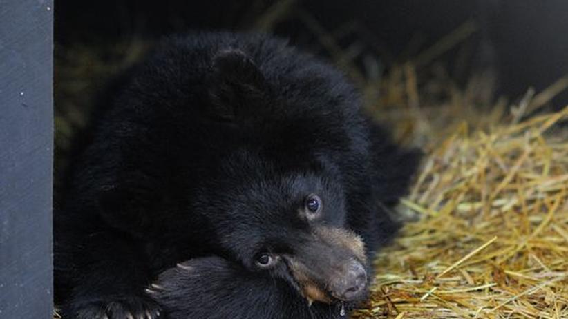 Winterschlaf: Schwarzbären auf Sparflamme