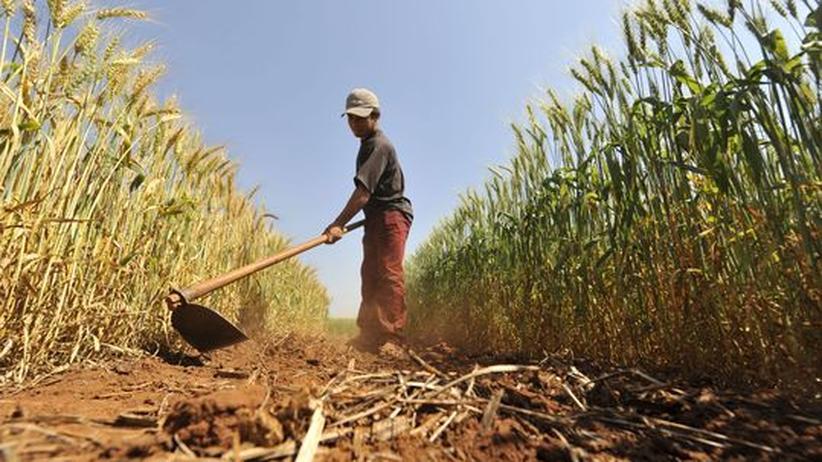Ein Arbeiter erntet Weizen in Campo, Paraguay