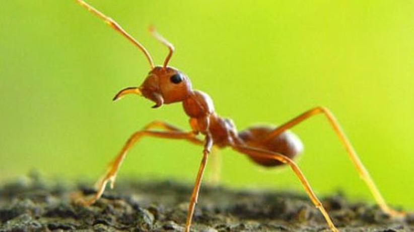 """Eine von vielen Rossameisenarten, die unter dem """"Zombiepilz leiden: """"Camponotus leonardi"""""""