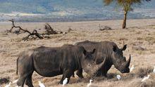 Nashorn Rhinozeross Afrika Wilderei