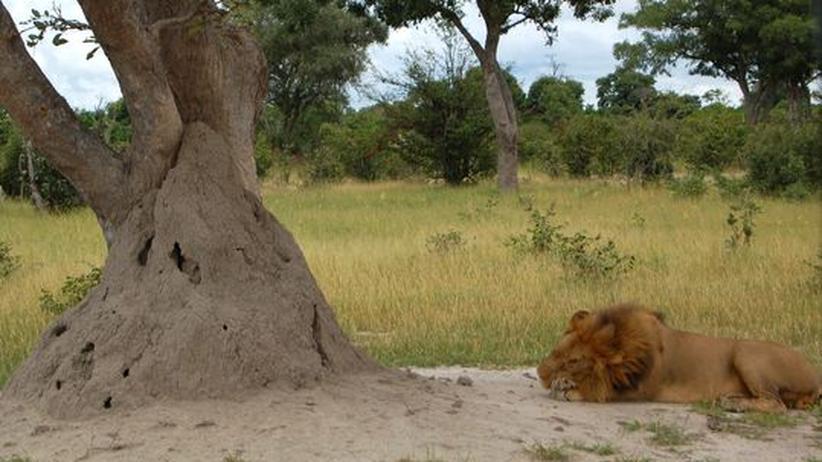 Okavango-Delta Termiten Termitenhügel Löwe Botswana