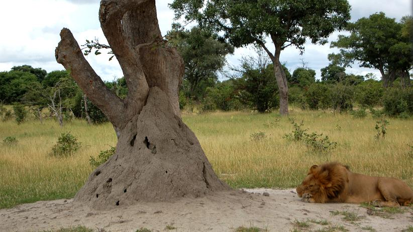 Afrika: Termiten, Herrscher über das Okavango-Delta