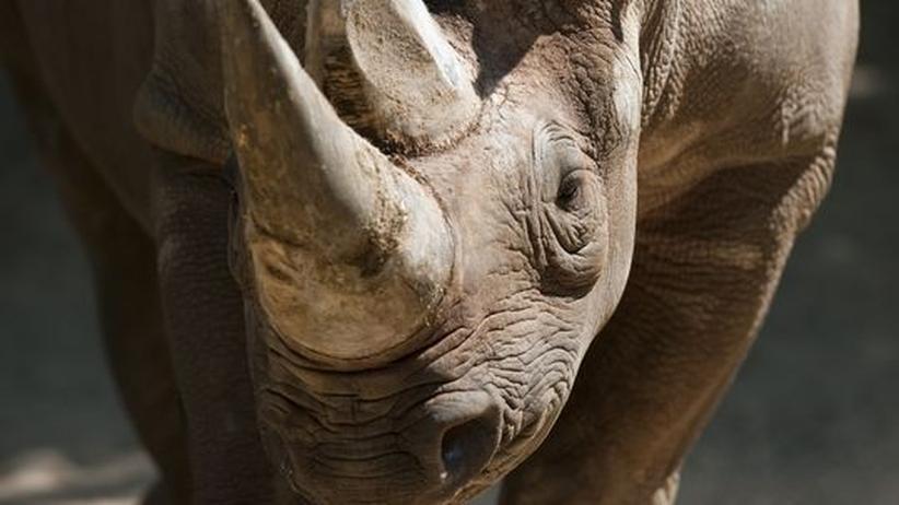 Nashorn Rhinozeross Wilderei Museum Diebstahl