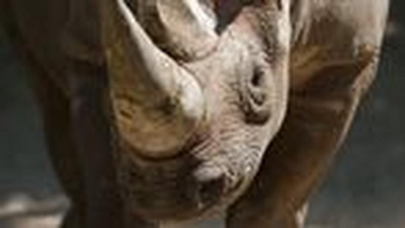 Jagd auf Nashorn-Hörner: Aus dem Schaukasten gewildert