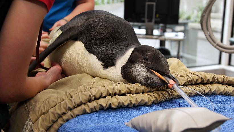 Verirrter Pinguin: Verschwommen, gestrandet und zum Tod entschlossen