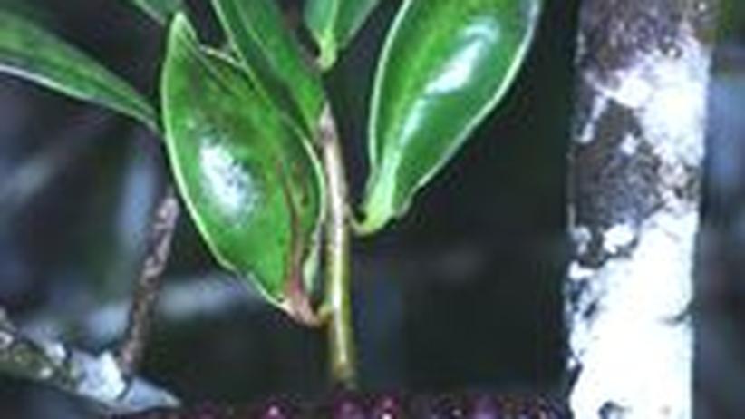 """Die tropische Kletterpflanze """"Marcgravia evenia"""""""