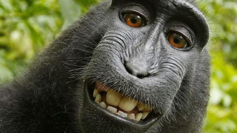 Bildrechte im Netz: Der sich selbst porträtierende Schopfmakake
