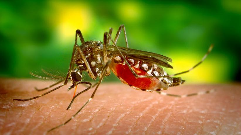 Gelbfiebermücken: Der Kampf gegen Dengue-Fieber rechtfertigt den Eingriff in die Natur