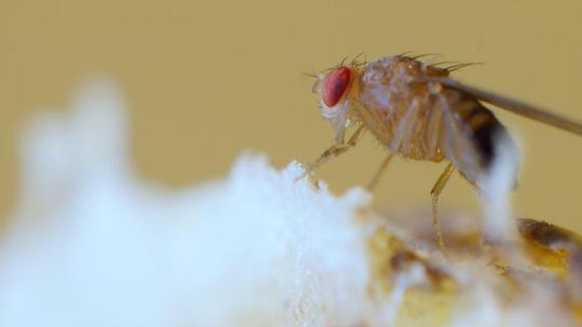 Das unterschätzte Tier: Diese Fliege hätte den Nobelpreis verdient