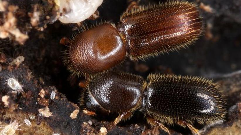 Das unterschätzte Tier: Ein Käfer, der für andere einsteht