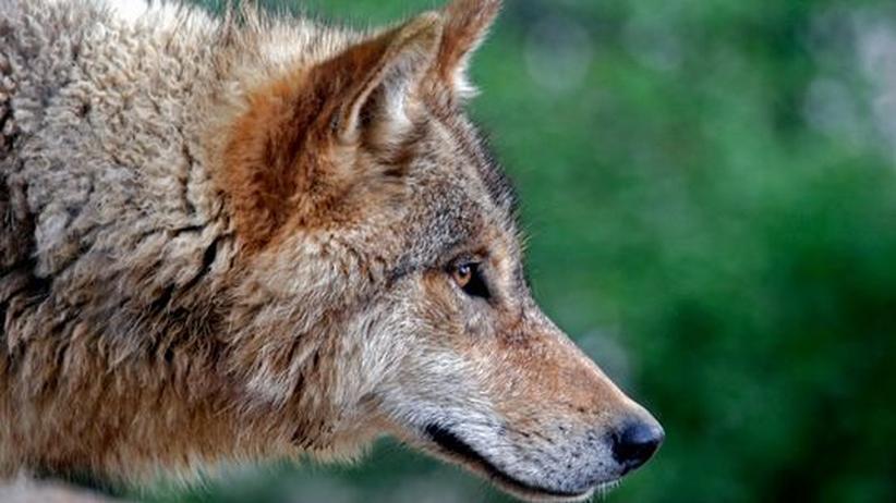 Wiederansiedelung: Wie der Wolf durch Deutschland streift