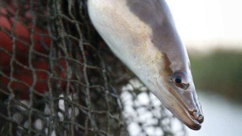 Artensterben: Ich wollt, ich wär kein Aal
