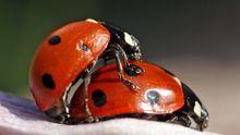 Marienkäfer Sex Insekt Paarung