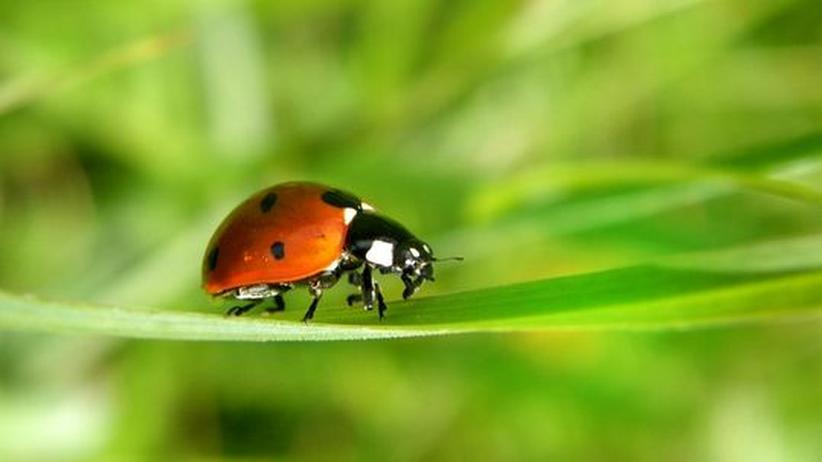 Das unterschätzte Tier: Marienkäfer sind unersättlich