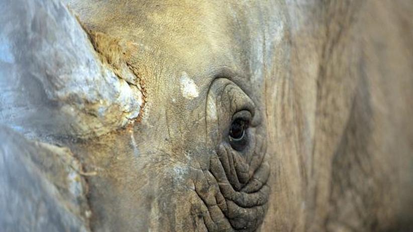 Rote Liste: Ein weibliches Nashorn in einem Zoo in Frankreich