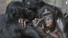 """Weibliche Bonobos umarmen sich - Affen sind zu vielen """"menschlichen"""" Gefühlen, wie etwa Sympathie und Mitleid fähig."""