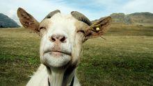 Bestimmte Ziegenarten – sogenannte Fainting Goats – fallen erstarrt um, wenn sie sich erschrecken.