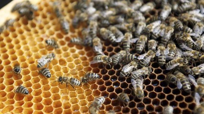 Bienensterben: Parasit könnte Massensterben der Bienen mitverursacht haben