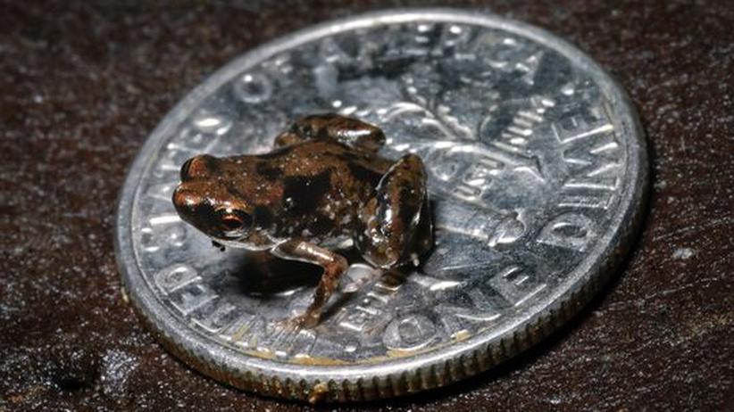 Artenvielfalt: Neu entdeckter Frosch ist kleinstes Wirbeltier der Welt