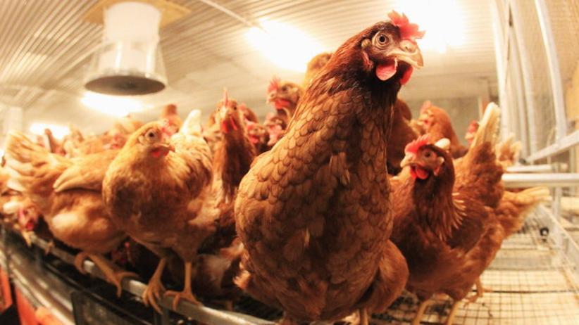 Fleischskandale: Die Hähnchen hacken zurück