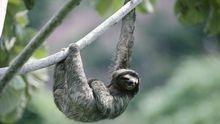 Dreizehen-Faultier Pilosa das unterschätzte Tier