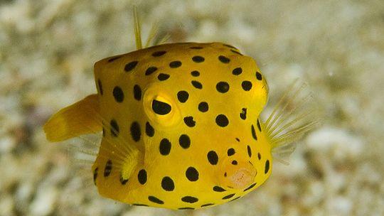 Das unterschätzte Tier der Gelbbraune Kofferfisch