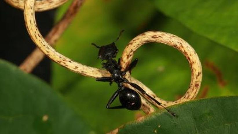 Das unterschätzte Tier: Akrobatische Ameisen im Sturzflug
