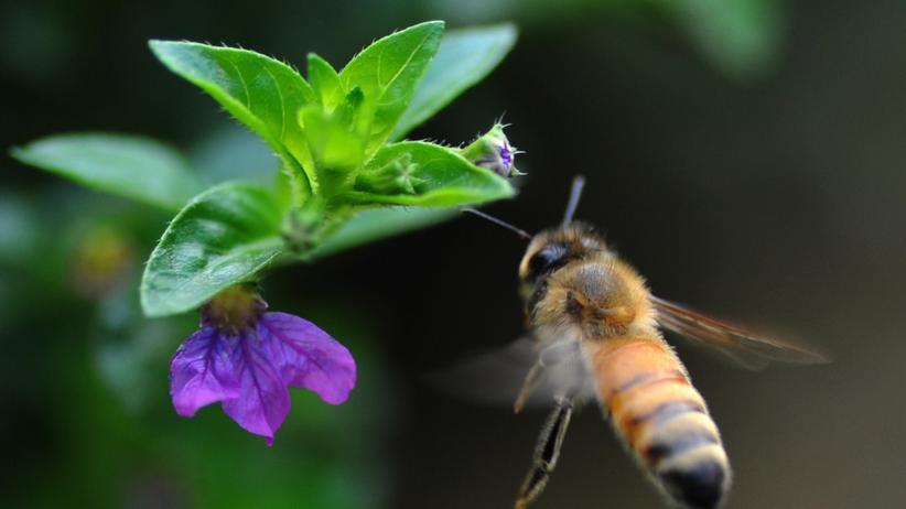Genetik: Manche Bienen sind von Natur aus abenteuerlustig