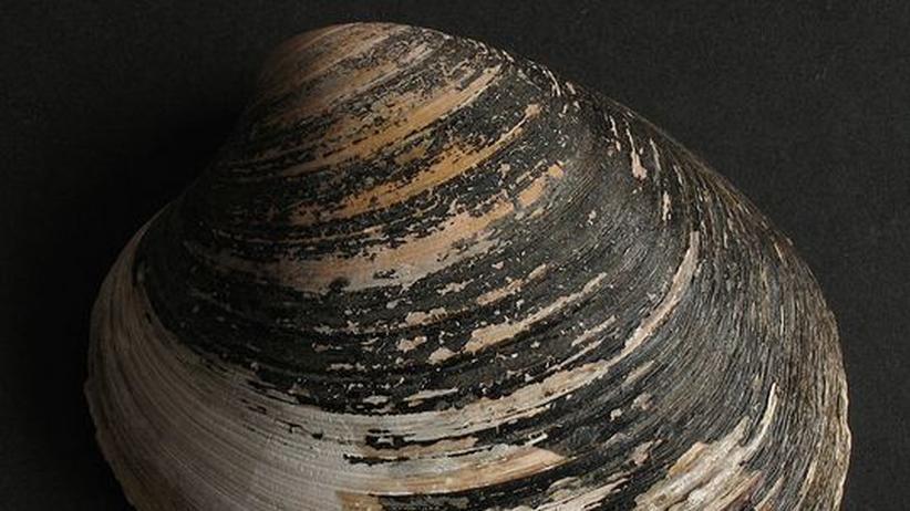 Das unterschätzte Tier: Diese Muschel weiß, was wirklich jung hält