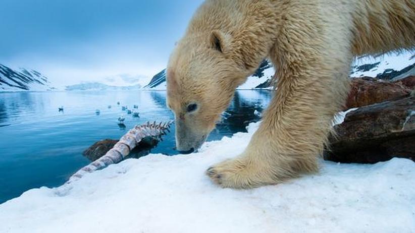Evolution: Eisbären sind viel älter als gedacht