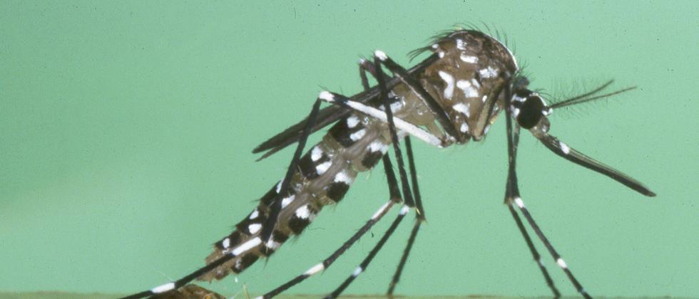 Tigermücke Tiger mosquito