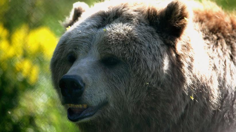 Wildtiere: Der Bär auf dem Kühlergrill