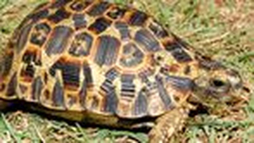 Zoologie: Die Karteileichen unter den Gelenkschildkröten