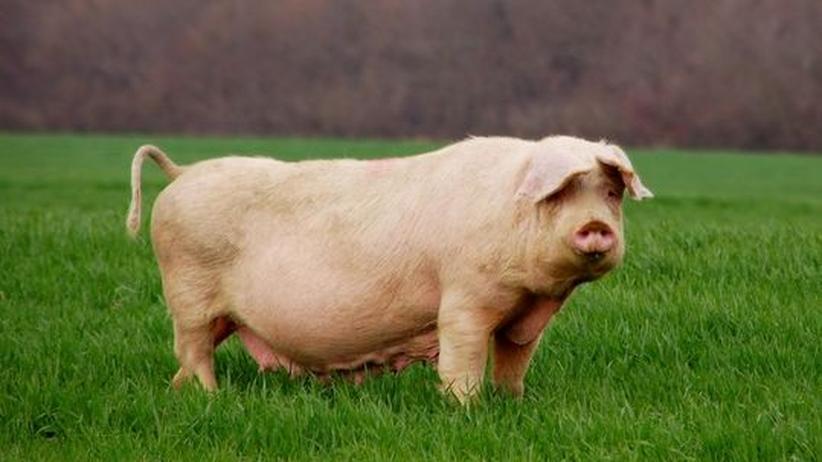 Das unterschätzte Tier: Das Schwein weiß um sein Ich
