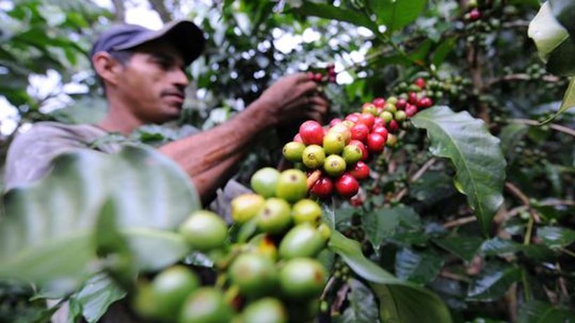 Ein Bauer erntet Kaffeepflanzen auf einer Planate in Kolumbien (Archivfoto).
