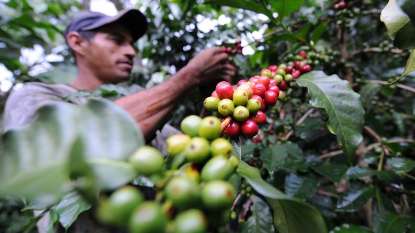 Entkoffeinierung: Der Kaffee kommt nicht vom Koffein los